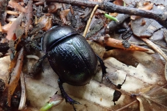 Waldmistkäfer (Anoplotrupes stercorosus)