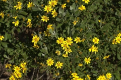 wahrscheinlich Chrysanthemoides monilifera