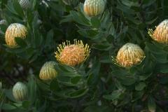 Nadelkissenblüten-Strauch (Leucospermum conocarpodendron) (Hybride)