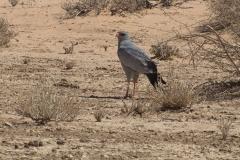 Großer Singhabicht (Melierax canorus)