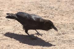 Kapkrähe (Corvus capensis)