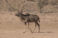 Sambesi-Großkudu (Strepsiceros zambesiensis)