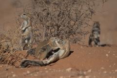 Kap-Borstenhörnchen (Xerus inauris)