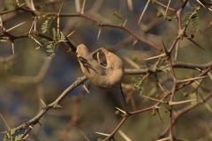 Kameldorn (Acacia erioloba)