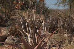 Unbekannter Aloe