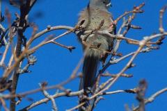 Weißrücken-Mausvogel (Colius colius)