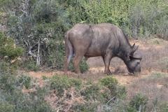 Kaffernbüffel (Syncerus caffer)