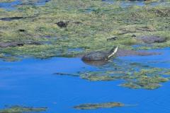 Starrbrust-Pelomedusenschildkröte (Pelomedusa subrufa)