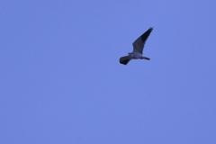 Gleitaar (Elanus caeruleus)