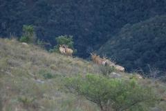 Südafrikanische Kuhantilope (Alcelaphus caama)