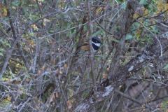 Kapschnäpper (Batis capensis)