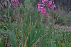 Gladiolus indet.