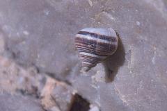 Tropidophora spec.