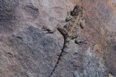 Südliche Steinagame (Agama atra)