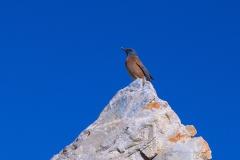 Klippenrötel (Monticola rupestris)