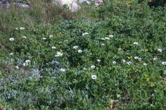 Kapkörbchen (Osteospermum)