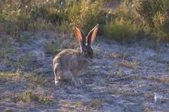 Kaphase (Lepus capensis)