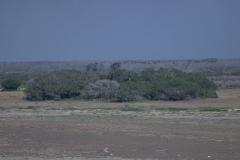 Schreiseeadler (Haliaeetus vocifer) am Nest