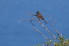 Zweifarben-Glanzstar (Lamprotornis bicolor)
