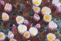 Strohblume indet. (Helichrysum indet.)