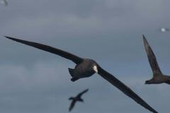 Riesensturmvogel (Macronectes giganteus)