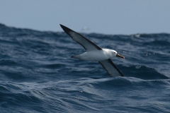 Indian yellow-nosed albatross (Thalassarche carteri)
