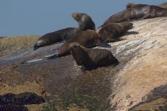 Südafrikanischer Seebär (Arctocephalus pusillus)