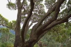 Kampferbaum (Cinnamomum camphora)