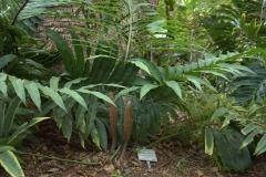 Stangeria eriopus