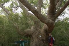 Was für ein dicker Baum im Kirstenbosch Botanischer Garten.
