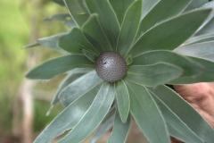 Leucadendron argenteum (Blüte)
