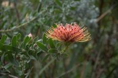 Nickendes Nadelkissen (Leucospermum cordifolium)
