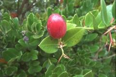 Natalpflaume (Carissa macrocarpa)