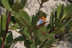 Common Opal Butterfly (Chrysoritis thysbe)