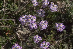 Sternenphlox (Zaluzianskya villosa)