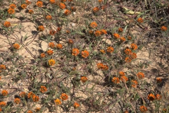 Käfer Daisy (Gorteria diffusa ssp calendulacea)