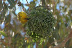 Kapweber (Ploceus capensis) beim Nestbau