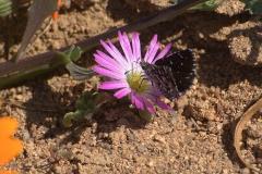 Namaqua Sandman (Alenia namaqua)