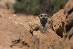 Erdmännchen (Suricata suricatta)
