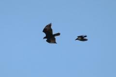 Kaffernadler (Aquila verreauxii) wird von Schildrabe (Corvus albus) verfolgt