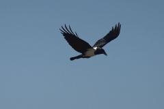 Schildrabe (Corvus albus)