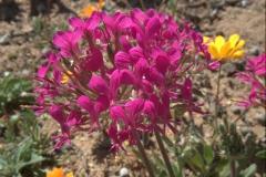 wahrscheinlich Pelargonium incrassatum