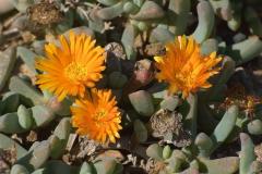 Kupferige Mittagsblume (Malephora crocea)
