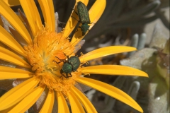 Unbekannter Käfer (Familie Melyridae)