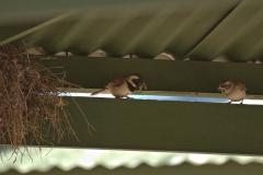 Kapsperling (Passer melanurus) Paar mit Futter am Nest