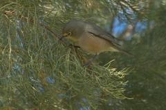 Orangebrillenvogel (Zosterops pallidus)