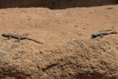 Broadley-Plattgürtelechse (Platysaurus broadleyi)
