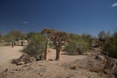 Köcherbaum (Aloe dichotoma) im Augrabies Falls National Park