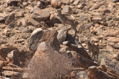 Kap-Klippspringer (Oreotragus oreotragus)