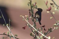Rußnektarvogel (Cinnyris fuscus)